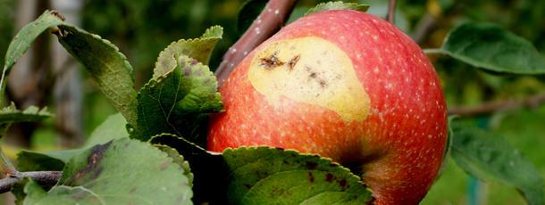 Apfelkrankheiten